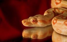 Картинка отражение, змея, голова, чешуя, рептилия, альбинос