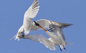 Картинка любовь, птицы, поцелуй, крачки