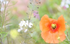 Картинка трава, лето, оранжевый, мак, размытость, поляна, цветок