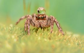Картинка макро, роса, паук, насекомое