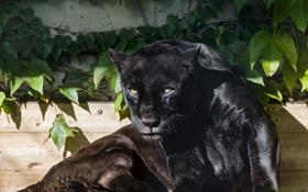 Обои кошка, взгляд, солнце, пантера, черный ягуар, ©Tambako The Jaguar
