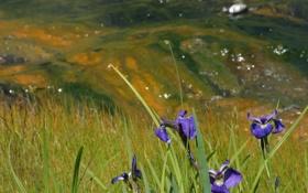 Обои лето, трава, цветы, фото, гора, ирис