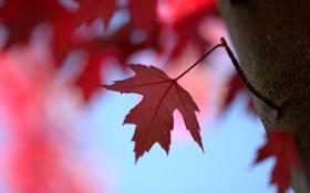 Картинка красный, лист, дерево, ветка, кленовый