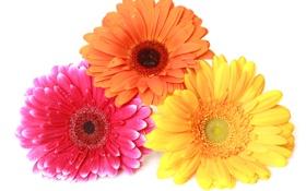 Обои gerbera, colorful, гербера, макро, цветы
