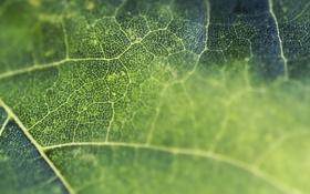 Картинка макро, лист, green, клетки, leaf