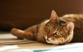 Обои кот, дом, полосатый, внимание, лежа