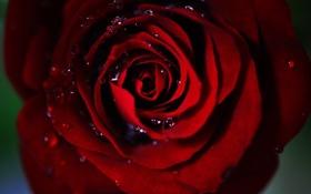 Обои капли, роза, красная, середина