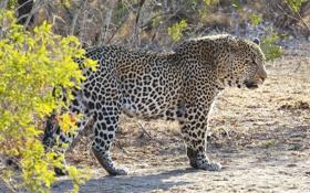 Обои хищник, мощь, пятна, леопард, Африка, дикая кошка, кустарник