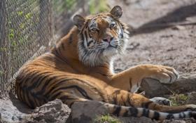 Картинка дикая кошка, морда, зоопарк, отдых, хищник, тигр