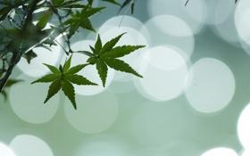 Обои небо, листья, клен, блик