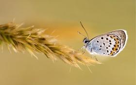 Обои макро, Butterfly, пшеница, колосок, бабочка