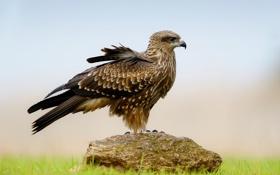 Обои трава, природа, птица, камень, перья, сокол