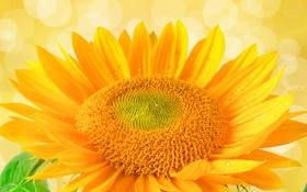 Обои цветок, подсолнух, солнечные цвета