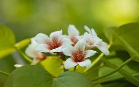 Обои листья, макро, цветение, Китайское тунговое дерево