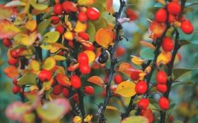 Обои осень, макро, оранжевый, красный, ягоды, краски, крирода