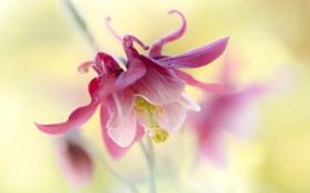 Картинка цветок, природа, лепестки, экзотика, Columbine