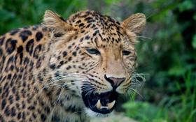 Обои кошка, морда, леопард, клыки