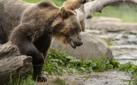 Картинка морда, медведь, молодой, гризли