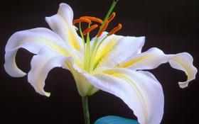 Картинка белый, цветок, черный фон, Oriental Lily