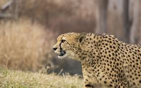 Картинка трава, гепард, зверь