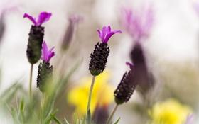 Обои цветок, макро, lavender