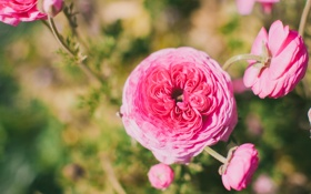 Обои лепестки, ранункулюс, цветы