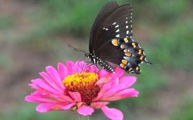 Обои цветок, природа, бабочка, крылья, лепестки, насекомое, мотылек