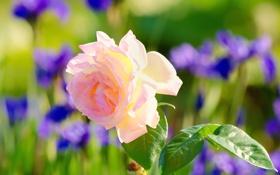 Обои листья, фон, ирисы, роза, розовая, размытость