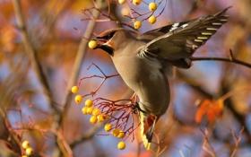 Картинка ветки, ягоды, птица