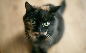 Картинка кошка, взгляд, фон