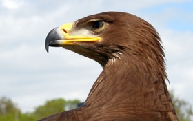 Обои птица, орел, перья, клюв