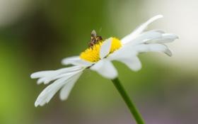 Картинка природа, муха, ромашка