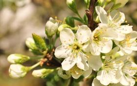 Картинка макро, цветы, цвет, ветка, весна, белые, яблоня