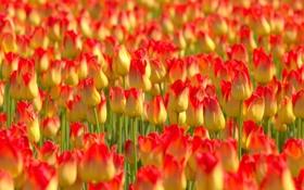 Обои лето, цветы, тюльпаны