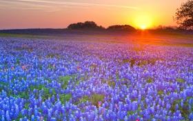 Обои люпин, луг, закат, цветы