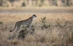 Обои кошка, хищник, гепард, саванна, африка
