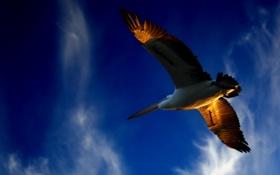 Картинка небо, птица, полёт, soaring pelican