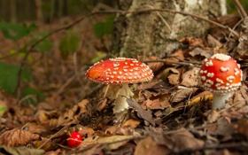Картинка осень, природа, грибы