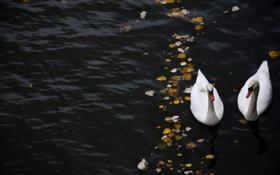 Обои листья, река, вода, лебедь, лебеди