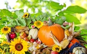 Картинка подсолнухи, природа, ягоды, яблоки, кукуруза, виноград, тыквы