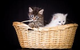 Картинка кошки, фон, корзина