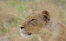 Обои кошка, природа, хищник, львица, Botswana