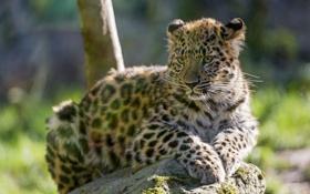 Обои кошка, камень, леопард, детёныш, котёнок, амурский, ©Tambako The Jaguar