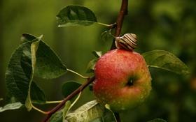 Обои листья, макро, ветки, дерево, яблоко, улитка
