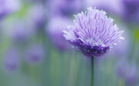 Обои цветок, сиреневый, лепестки, размытость, стебель