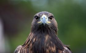 Картинка птица, орел, хищная, birds of prey