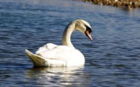 Картинка белый, рябь, грация, лебедь, водоем