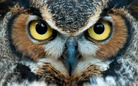 Обои yellow, eyes, Owl, head