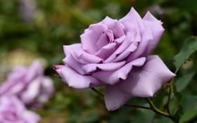 Обои роза, лепестки, макро, бутон
