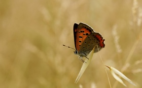Обои фон, бабочка, колосок